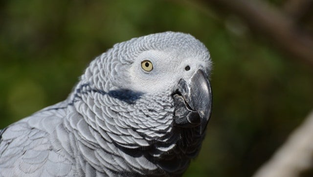 AFRICAN GREY- Most Beautiful Parrot