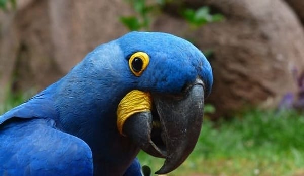 HYACINTH MACAU-Most Beautiful Parrot