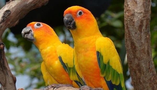 SUN PARAKEET-Most Beautiful Parrot