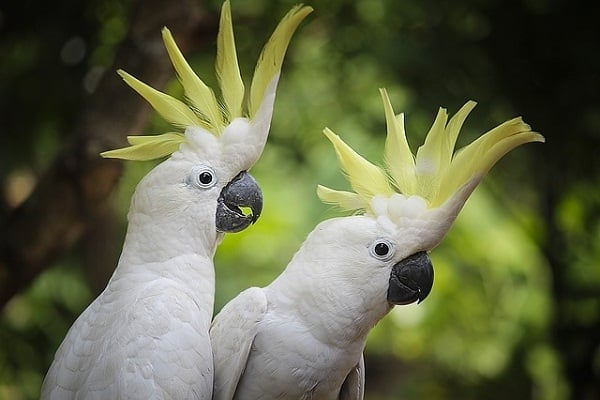 Sulphur Crested Cockatoo-Most Beautiful Parrot