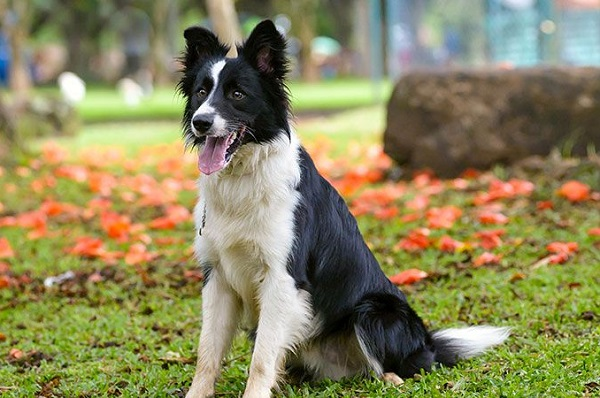 Border Collie -Most Popular Dog Breeds