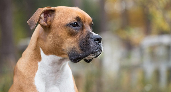 Boxer -Most Popular Dog Breeds
