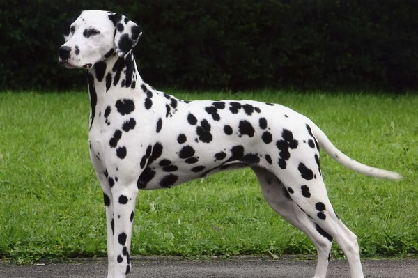 Dalmation -Most Popular Dog Breeds