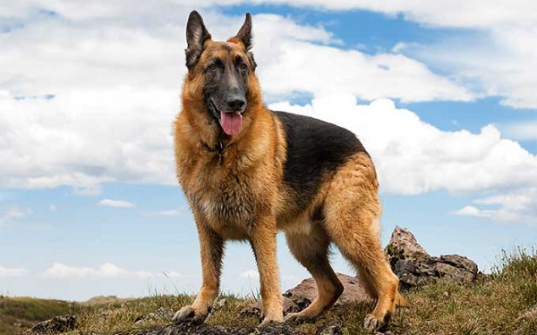 German Shepherd -Most Popular Dog Breeds
