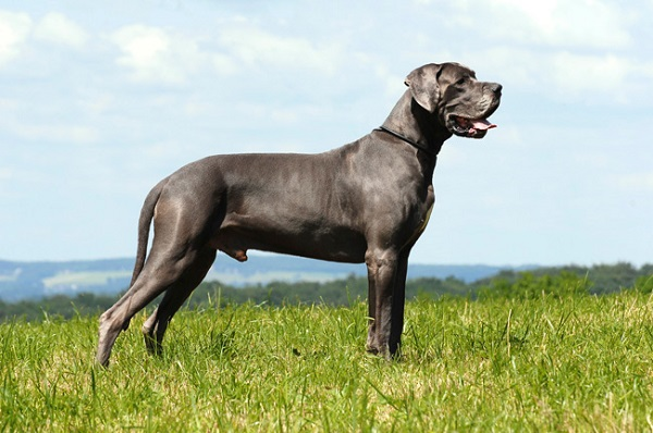 Great Dane - Most Popular Dog Breeds