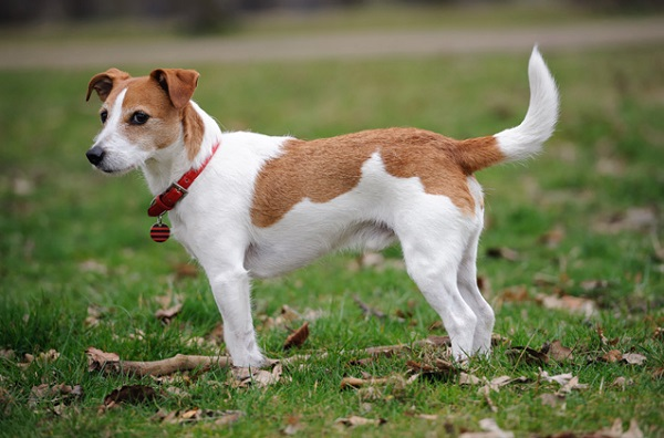 Jack Russell Terrier - Most Popular Dog Breeds