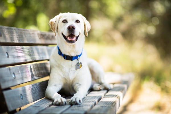 Labrador Retriever Dog Smiles on Bench Outdoors