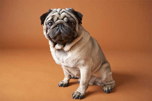 Pug -Most Popular Dog Breeds