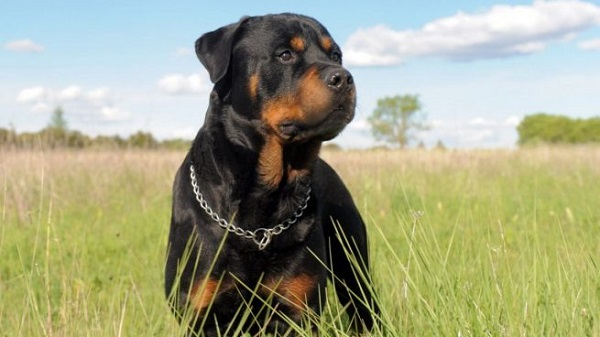 Rottweiler -Most Popular Dog Breeds