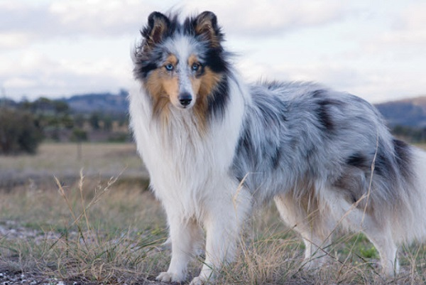 Shetland Sheepdog -Most Popular Dog Breeds
