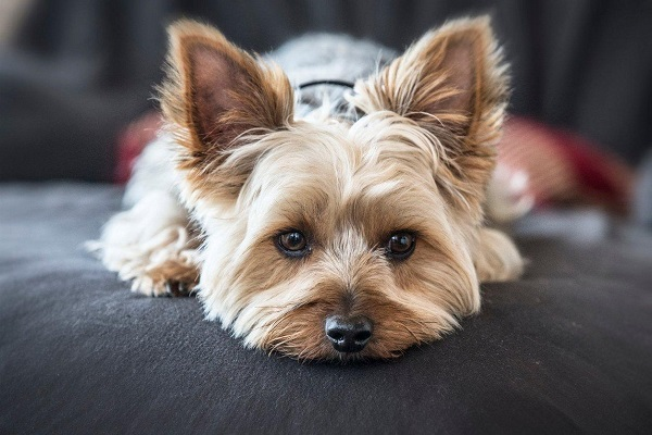 Yorkshire Terrier - Most Popular Dog Breeds