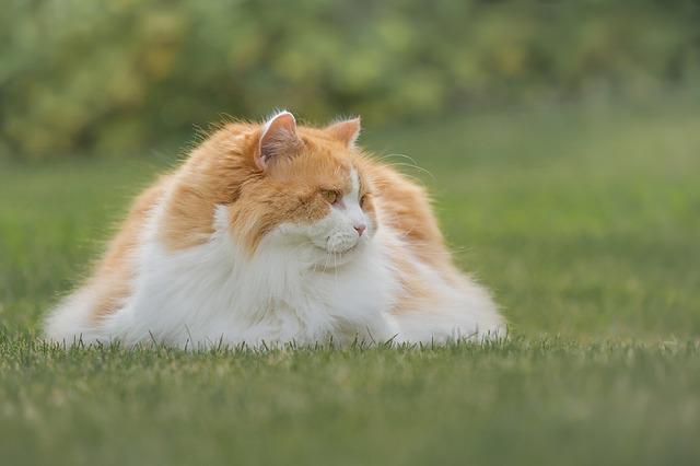 British Longhair - Cat Breeds With Long Hair