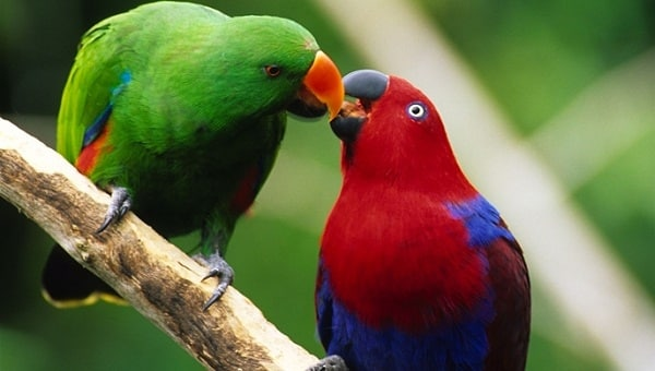 ECLECTUS-Most Beautiful Parrot