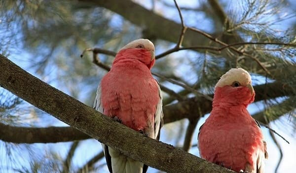 GALAH-Most Beautiful Parrot