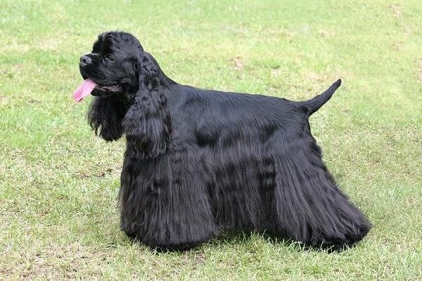 American Cocker Spaniel -Most Popular Dog Breeds