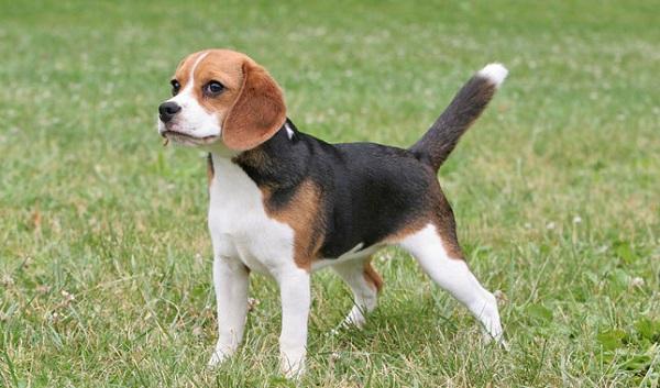 Beagle-Most Popular Dog Breeds