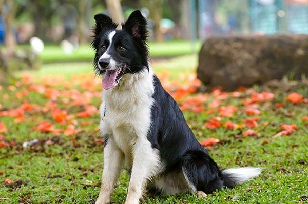 Border Collie -Most Popular Dog Breeds