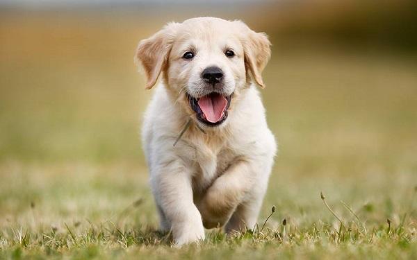 Golden Retriever -Most Popular Dog Breeds