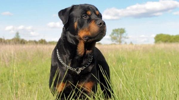 Rottweiler -Most Popular Dog Breeds