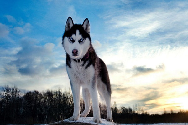 Siberian Husky- top 20 dog in the World