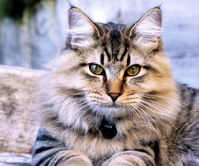 American Bobtail - Cat Breeds Cute