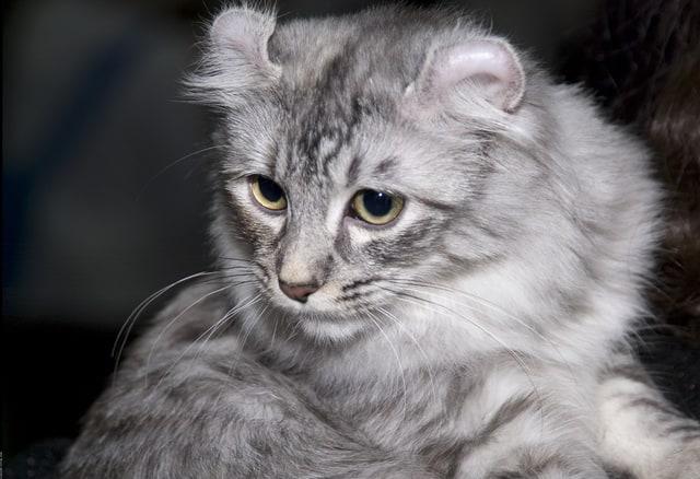 American Curl - Cutest Cat Breeds