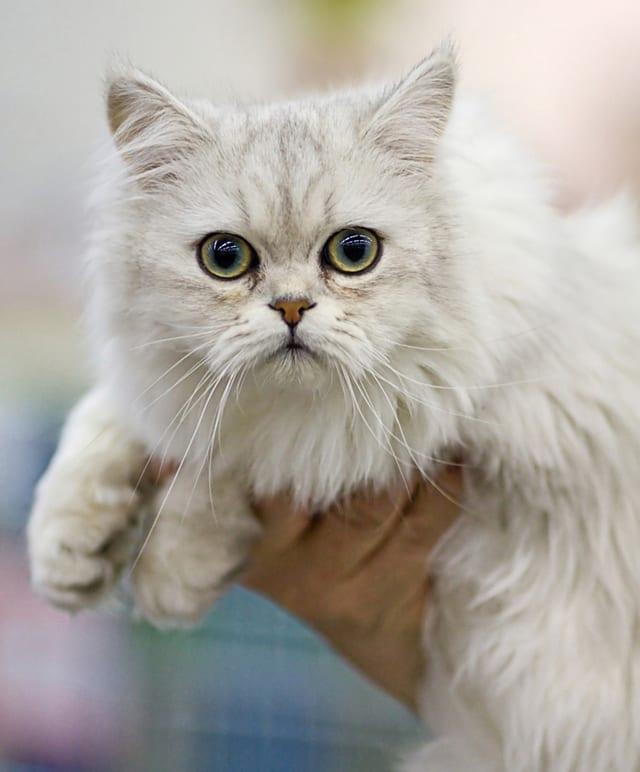 Asian Semi-longhair - Cat Breeds Long Hair