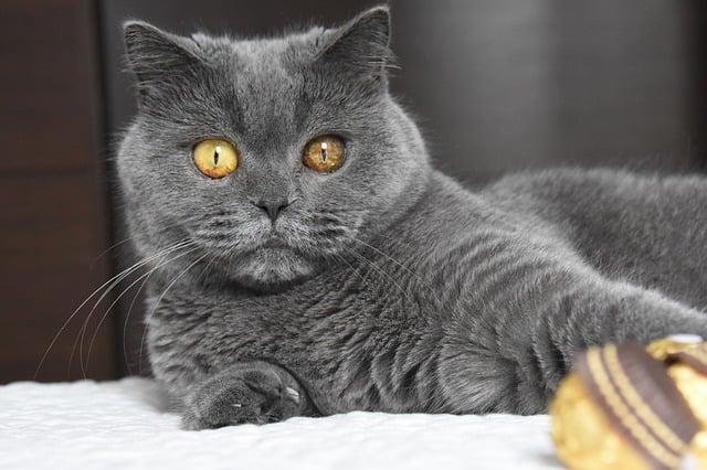 British Shorthair - Cat Breeds Gary