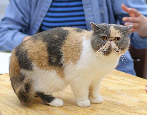 Exotic Shorthair - Cat Breeds Cute