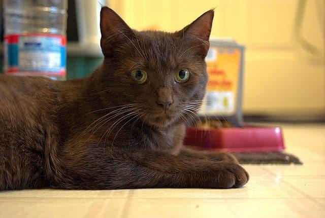 Havana Brown - Cat Breeds