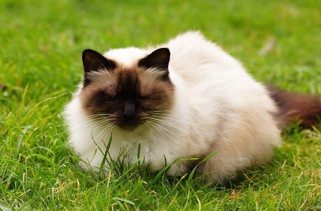 Himalayan - Cat Breeds Cute