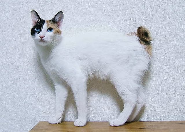 Japanese Bobtail - cutest cat breeds