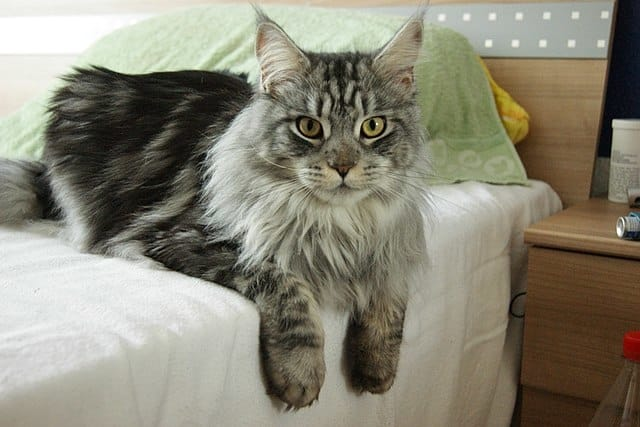 Maine Coon - Cat Breeds Fluffy
