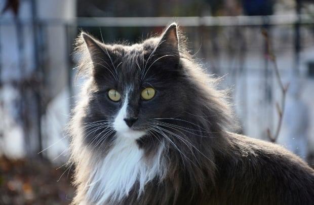 Norwegian Forest Cat - Cat Breeds Fluffy
