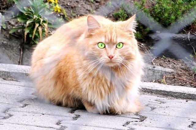 Persian - Cat Breeds Persian