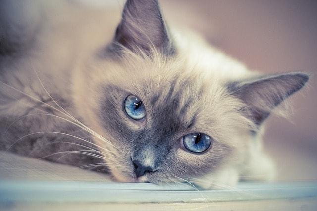Ragdoll - Cat Breeds Cute