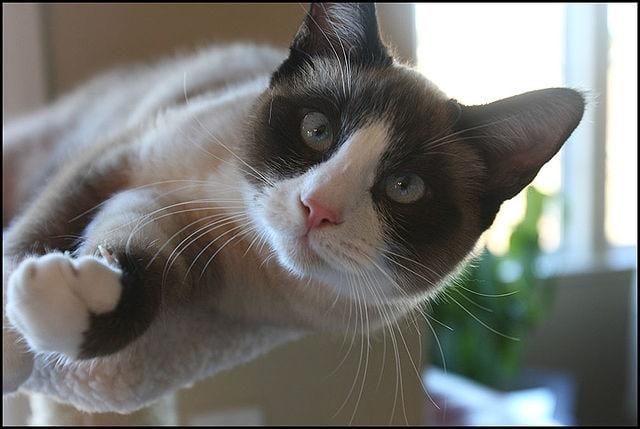 Snowshoe - Cat Breeds Persian