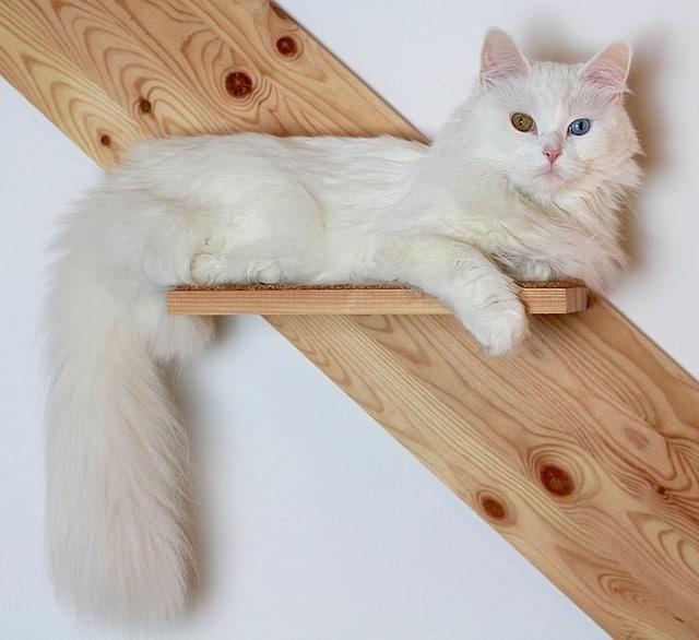 Turkish Angora - Cat Breeds Persian