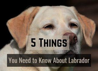 Labradors Dog